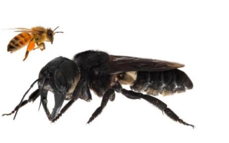 Hilang selama 38 tahun, lebah raksasa ditemukan di Maluku Utara